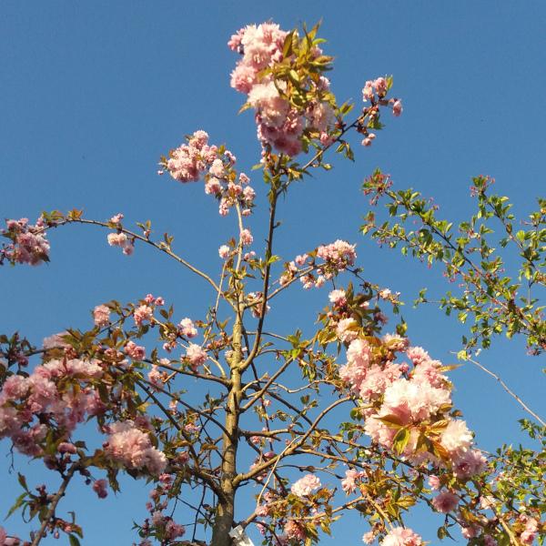 Japanische Hängeblütenkirsche